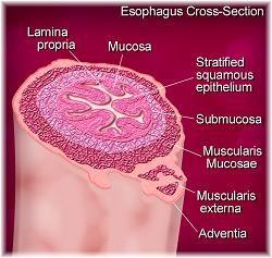 Esophagus layers
